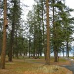 Colour photo of path through tall pine trees, lake in background